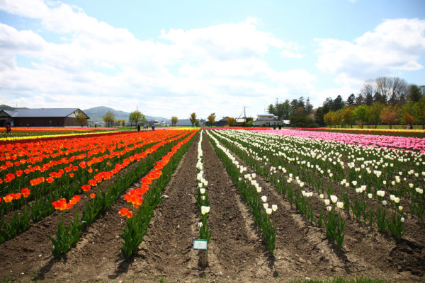Kamiyubetsu Tulip Park 14 / Yubetsu