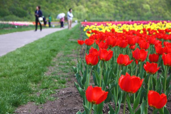 Kamiyubetsu Tulip Park 24 / Yubetsu