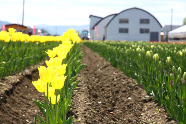 Kamiyubetsu Tulip Park 8 / Yubetsu