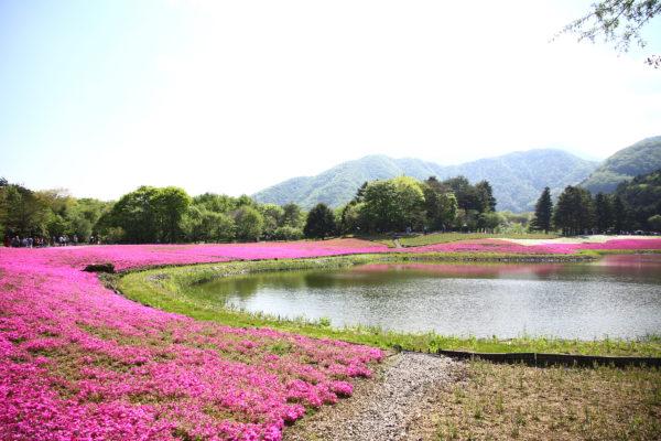 Shibazakura Festival Fuji 1