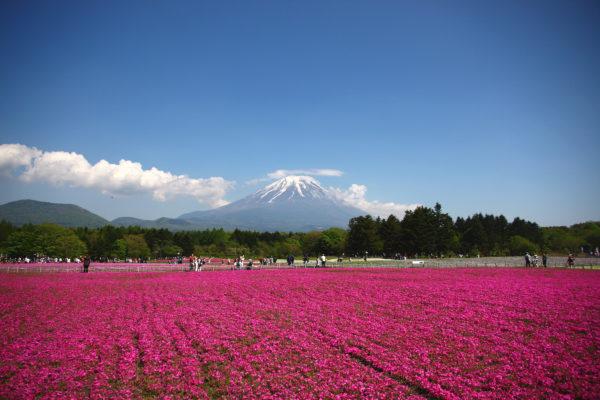 Shibazakura Festival Fuji 16