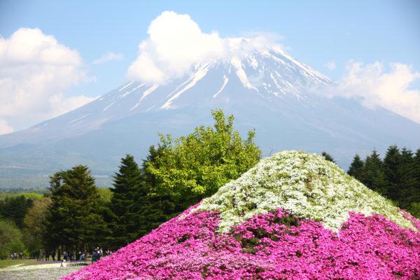 Shibazakura Festival Fuji 29