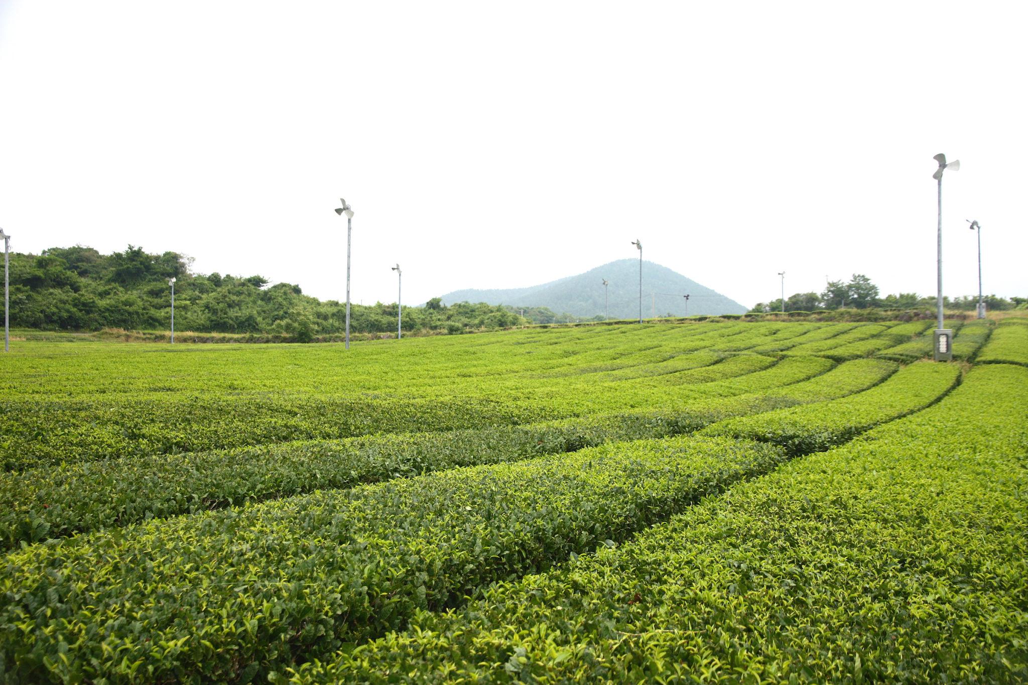 Jeju Road Trip Itinerary Day 2: O'Sulloc Tea Museum, Innisfree Jeju House, Aewol (Cafe Monsant)